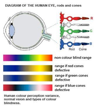 Diagram Of The Human Eye Colorblind